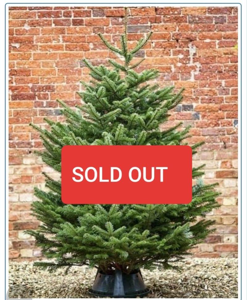 08aa2a13b87 Premium   Standard Nordman Fir Tree - Christmas tree sales in ...